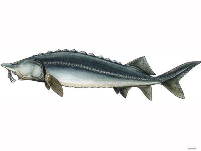 Return the Beluga Sturgeons back into the river