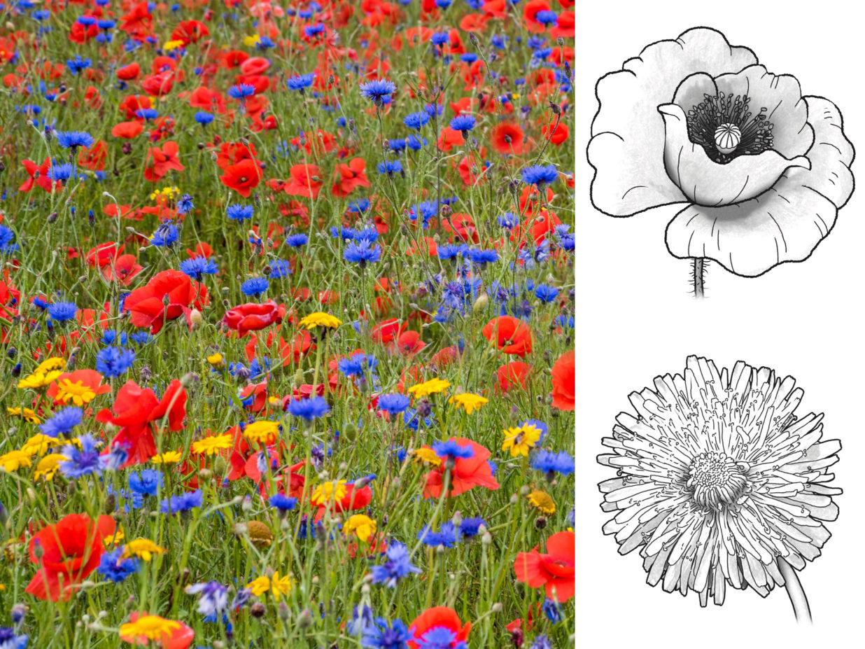 grafika kwiatów na łące i rysunków kwiatów do kolorowania
