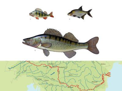 (Non) Dangerous fish migration