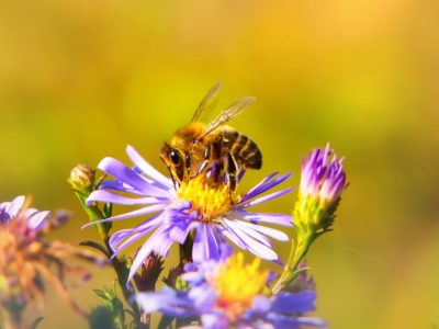 Solitary bees introduce themselves